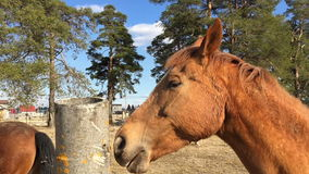Horse licks a concrete pole on the background of other horses are eating grass. stock footage