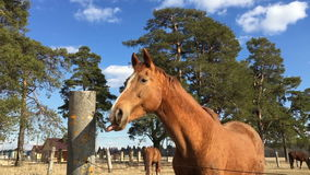Horse licks a concrete pole on the background of other horses are eating grass. stock video footage