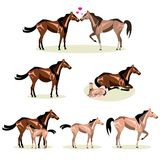 Horse Life with all stages including birth mother and foal colt and adult Stock Photography
