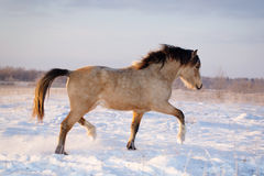 Horse. Light bay welsh pony at nature Stock Images