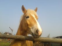 Horse. Light brown horse with yellow mane in the corral Royalty Free Stock Photo