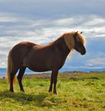 The horse with a light mane. Farmer sleek bay horse with a light mane. Warm summer day in Iceland. Green lawn on the shores of the fjord Stock Image