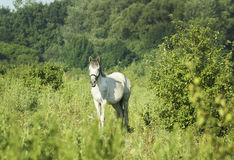 Horse with light mane and tail stands on the field on the green grass Royalty Free Stock Images