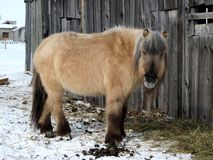 Horse Like Mammal, Horse, Mane, Pony Stock Photo