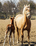 Horse and little red foal running on the sand in the paddock Stock Images