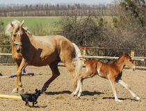 Horse and little red foal running on the sand in the paddock Royalty Free Stock Photography