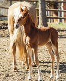 Horse and little red foal running on the sand in the paddock Stock Photos