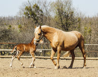 Horse and little red foal running on the sand in the paddock Royalty Free Stock Photo