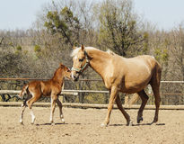 Horse and little red foal running on the sand in the paddock Royalty Free Stock Photos