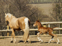Horse and little red foal running on the sand in the paddock Stock Photo