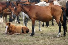 Horse livestock in Spain. Horse livestock in Galicia, Spain Royalty Free Stock Image