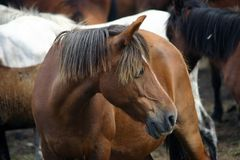 Horse livestock in Spain. Horse livestock in Galicia, Spain Stock Photography