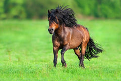 Horse with long black mane run Stock Photography