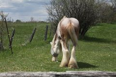 Horse, Long Hair. Skinny, white and beige long hair horse wearing an eye sunshade, while in a small pasture Stock Image