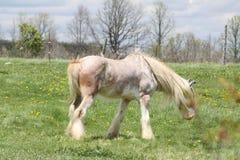 Horse, Long Hair Stock Photo
