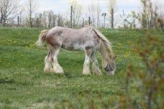Horse, Long Hair Stock Photography