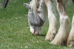 Horse, Long Hair Stock Image
