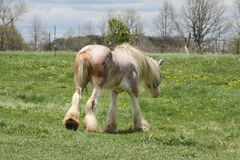 Horse, Long Hair Royalty Free Stock Images