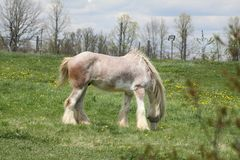 Horse, Long Hair. Skinny, white and beige long hair horse wearing an eye sunshade, while in a small pasture Royalty Free Stock Photography