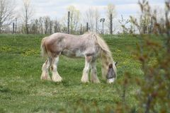 Horse, Long Hair. Skinny, white and beige long hair horse wearing an eye sunshade, while in a small pasture Stock Photography
