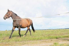 Horse with long leash Royalty Free Stock Photography