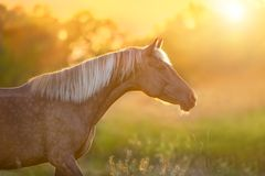Horse with long mane. Beautiful horse with long blond mane portrait at sunset light royalty free stock image