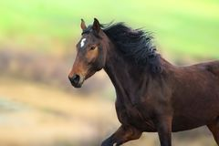 Chestnut Horse in motion royalty free stock images