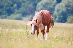 Horse with a long mane grazing on a spring meadow royalty free stock image