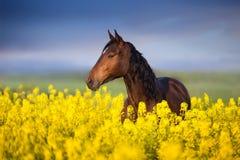 Horse with long mane on rape field