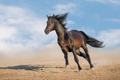 Horse with long mane run royalty free stock image