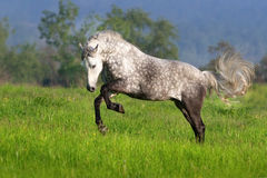 Horse with long mane run. Beautiful white horse with long mane run on spring field royalty free stock photos