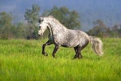 Horse with long mane run. Beautiful white horse with long mane run on spring field royalty free stock image