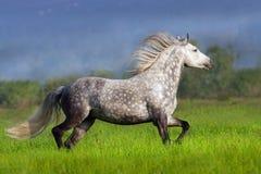 Horse with long mane run. Beautiful white horse with long mane run on spring field stock photography