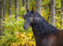 horse with long mane are standing on background of yellow autumn forest Royalty Free Stock Photography