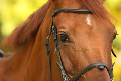 Horse look. Horse face and eyes closeup in the autumn background stock photography