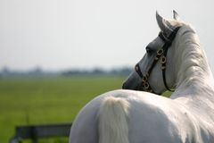 Horse looking away. A portrait of an grey spanish Andalusian horse, green fields in the background Stock Image