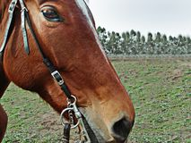 HORSE LOOKING CLOSE-UP TO THE CAMERA royalty free stock photography