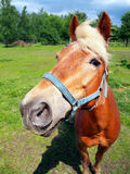 Horse looking directly into the camera royalty free stock photography