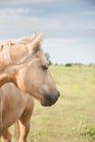 Horse looking eastward. Vertical outdoor portrait of a Palomino horse looking eastward Royalty Free Stock Photo