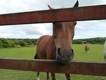 Horse looking through fence Stock Images