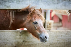 Horse looking through a fence Royalty Free Stock Photography
