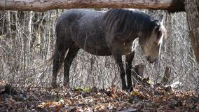 Horse is looking for food in autumn forest stock video
