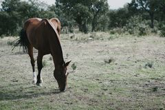 Horse looking for food on the grass royalty free stock photos