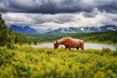 The horse is looking for grass high. In the mountains against the backdrop of the lake and the clouds Royalty Free Stock Image