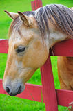 Horse looking for greener pastures. A beautiful chestnut stallion looking over the fence at greener pastures he can't get into royalty free stock photos