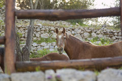 Horse looking at me Royalty Free Stock Image