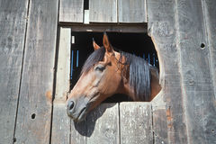 Horse looking out of barn window Stock Image