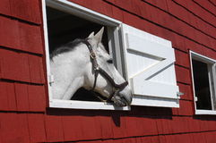 White horse looking out window of red barn royalty free stock photos