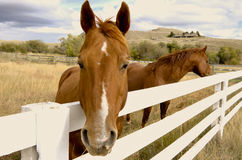 Horse looking over corral fence Stock Photo