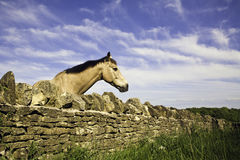 Horse looking over dry stone wall. In the summer in the Cotswolds, United Kingdom Royalty Free Stock Image